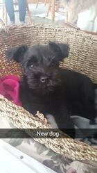Rosie, chien Schnauzer