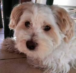Rosko, chien Bichon maltais