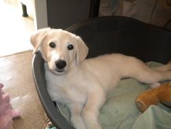 Ross, chien