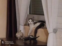 Rostand, chaton Européen