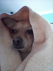 Rosy, chien Chihuahua