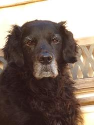 Rosy, chien Golden Retriever