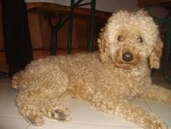 Roucky, chien Caniche