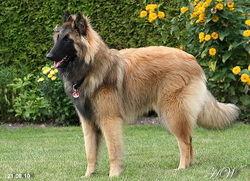 Roucky, chien Berger belge