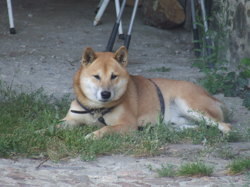 Roucky, chien Shiba Inu