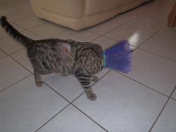 Rougaille, chat Gouttière