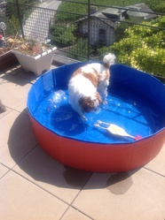 Rouguy, chien Cavalier King Charles Spaniel
