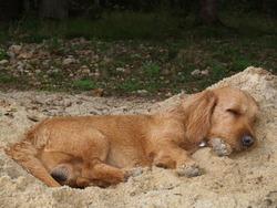 Rouki, chien Basset fauve de Bretagne