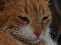 Rouki, chat Européen