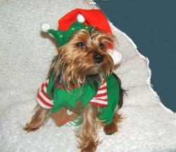 Roukie, chien Silky Terrier