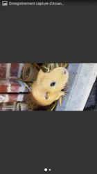 Roukie, rongeur Cochon d'Inde