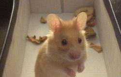 Roukmout, rongeur Hamster