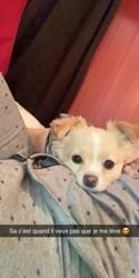 Rouky, chien Pékinois