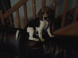 Rouky, chien Beagle