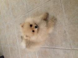 Rouky, chien Spitz allemand