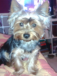 Rouky, chien Yorkshire Terrier