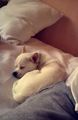 Rouky, chien Chihuahua