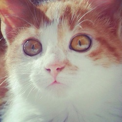 Rouky , chat Sibérien