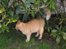 Rourou, chat Gouttière