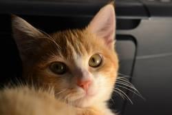 Rousquille, chat Européen