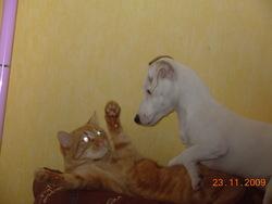 Rouxy, chat Européen
