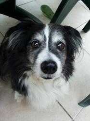 Rouxy, chien Épagneul nain continental