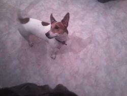 Rovett, chien Jack Russell Terrier