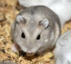 Rox, rongeur Hamster