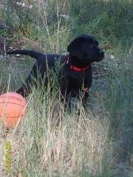 Rox, chien Labrador Retriever