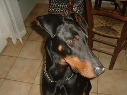 Rox, chien Dobermann