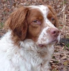 Rox, chien Épagneul breton