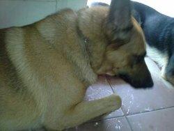 Rox, chien Berger allemand
