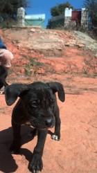 Rox, chiot Dogue allemand