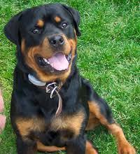 Roxan, chien Rottweiler