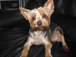 Roxane, chien Yorkshire Terrier