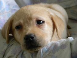 Roxane, chien Labrador Retriever