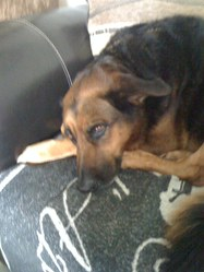 Roxane, chien Berger allemand