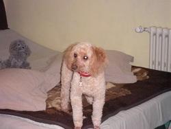Roxane, chien Caniche