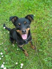 Roxane, chien Pinscher