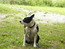 Roxane, chien American Staffordshire Terrier