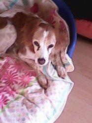Roxane, chien Épagneul breton