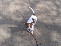 Roxane, chien Jack Russell Terrier