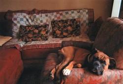 Roxane, chien Boxer