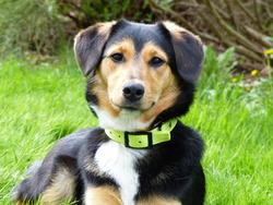Roxane, chien Beauceron