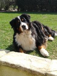 Roxane, chien Bouvier bernois