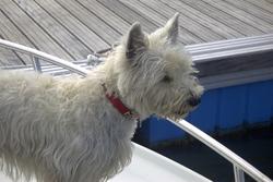 Roxanne, chien West Highland White Terrier
