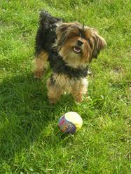 Roxanne, chien Yorkshire Terrier