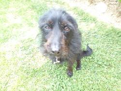 Roxanne, chien Schnauzer