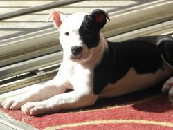 Roxanne, chien American Staffordshire Terrier