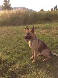 Roxanne, chien Berger allemand
